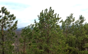 High wind gusts with a fast-moving cold front bend pines in Arkansas.