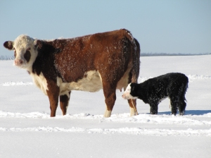 SNOWED IN -- Cow and calf show the effects of a Feb. 2011 snow. (Photo courtesy Nita Cooper)