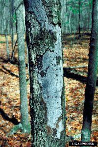 Hypoxolon canker on oak.